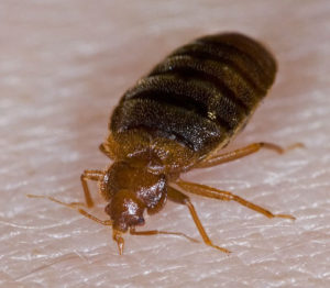 bed bug removal indianapolis